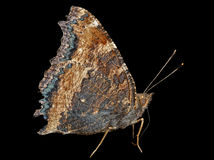 Butterfly (Polygonia C-aureum) 5 Stock Photo