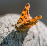 Butterfly Polygonia calbum is sunbathing Royalty Free Stock Image