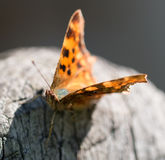 Butterfly Polygonia calbum is sunbathing Stock Photography