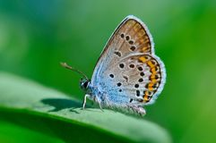 Butterfly Polyommatus amandus Royalty Free Stock Photography