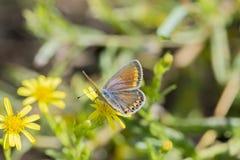 Butterfly polyommatus bellargus Stock Photography
