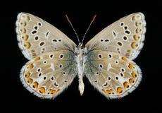 Butterfly Polyommatus bellargus (male) (underside) Stock Photo