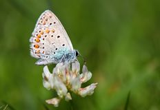 Butterfly - polyommatus icarus Stock Photos