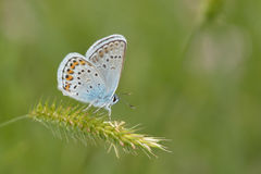 Butterfly (polyommatus icarus) Royalty Free Stock Photo