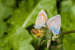 Butterfly - Polyommatus icarus Royalty Free Stock Photography
