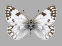 Butterfly Pontia callidice female Stock Image