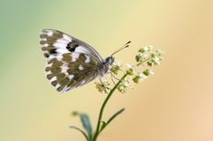 Butterfly Pontia edusa  on a summer day on a  field flower  early waiting for the first rays of the sun. Butterfly Pontia edusa  on a summer day on a  field stock photo