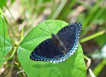Butterfly (Popinjay) , Thailand Royalty Free Stock Image