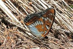 Butterfly of poplar tree (limenitis populi) Royalty Free Stock Photography