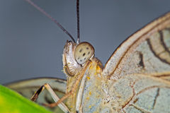 Butterfly Portrait. A detailed close up Butterfly Portrait royalty free stock photo
