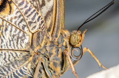 Butterfly Portrait. Side View of a Butterfly Head and Proboscis Stock Photo