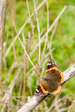 Butterfly Pose-off. A butterfly posing on a dried tree-branch Stock Photo