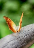 Beauty of a golden butterfly Royalty Free Stock Photo