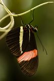 Butterfly The Postman resting Stock Photography