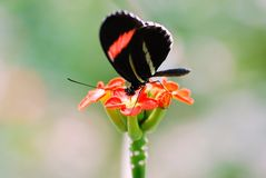 A Butterfly (Postman) Sits Atop a Flower Royalty Free Stock Photography