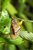 The butterfly postpones eggs on a green branch Stock Photography