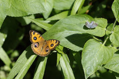 The butterfly Precis Almana stock photography