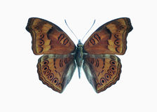 Butterfly Precis (Junonia) hedonia Stock Images