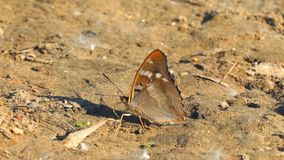 Butterfly with proboscis on brown ground stock video footage