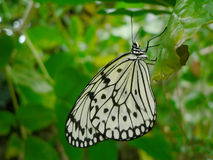 Butterfly profile. Black and white butterfly Royalty Free Stock Photo