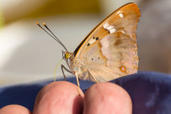 Butterfly in profile Royalty Free Stock Images