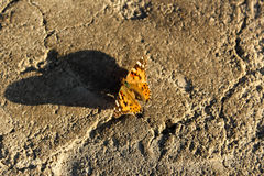 Butterfly projecting a large shadow Stock Image
