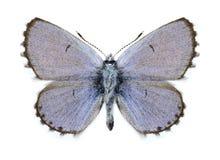 Butterfly Pseudophilotes vicrama schiffermulleri (male) Stock Image