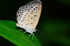 Butterfly (Pseudozizeeria Maha) Royalty Free Stock Photo