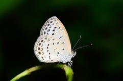 Butterfly (Pseudozizeeria Maha) Royalty Free Stock Image