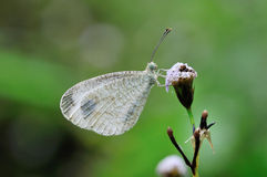 Butterfly (The Psyche) on grass Royalty Free Stock Image