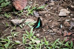 Butterfly puddling on the ground and flying in nature, Thailand Butterflies swarm eats minerals