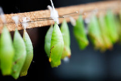 Butterfly pupa Royalty Free Stock Photos