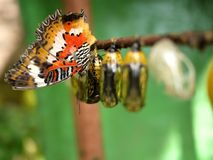 Butterfly and Pupa. All butterflies have complete metamorphosis. To grow into an adult they go through 4 stages: egg, larva, pupa and adult Stock Photography