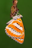 BUTTERFLY/PUPA/Athyma perius Royalty Free Stock Photos