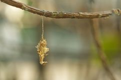 Butterfly pupa case. A butterfly pupa case is hanging under the tree branch Stock Photo