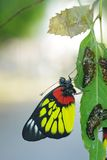 Butterfly and pupa exuvia. Butterfly and pupa left cases on the green leaf Royalty Free Stock Image