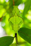 Butterfly pupa face. Troides helena cerberus butterfly pupa strange human face Royalty Free Stock Photo