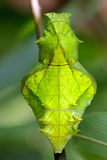 Butterfly pupa face. Troides helena cerberus butterfly pupa strange smiling human face Stock Image