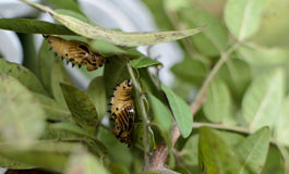 Butterfly pupa Stock Photos