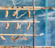 Butterfly Pupa Stock Image