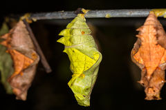 Butterfly Pupa, macro Stock Photography
