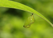 Butterfly Pupa - Milkweed butterfly. Butterfly Pupa Under leave - Milkweed butterfly Royalty Free Stock Images
