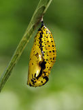 Butterfly Pupa - Paper kite. Paper kite Butterfly Pupa on leave waiting for new life Royalty Free Stock Images