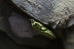 A butterfly pupa Royalty Free Stock Photography