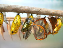 Butterfly and pupaes. A bunch of yellow larvae with butterfly Royalty Free Stock Photos
