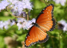 Butterfly among purple blooms. A closeup of a beautiful brown and black butterfly, collecting nectar from purple blossoms Stock Photos