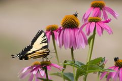 Butterfly on Purple Cone Flowers royalty free stock images