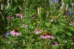 Butterfly and Purple Cone Flowers. A butterfly in flight over wildflowers. nature, summer, insects, pretty, wild, untouchedn Stock Photography