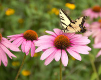Butterfly on purple coneflower Royalty Free Stock Images