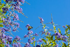 Butterfly on purple duranta bush Stock Images